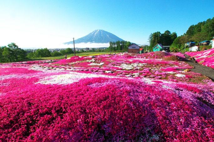 Shibazakura Hill, Japan